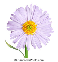 Camomiles flower isolated on white background - The...