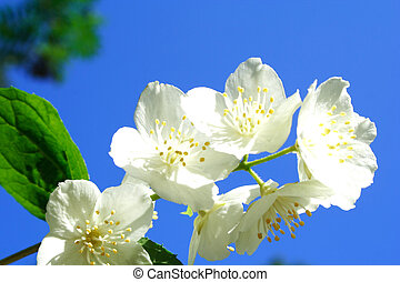 Foto of white jasmine in parents garden - Zoomed foto of...