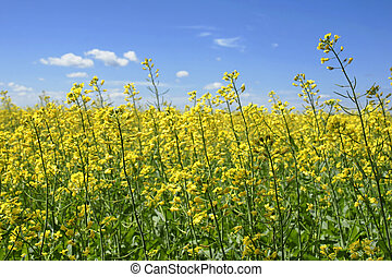 Canola plants touching the sky