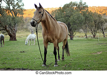 horse - mountain horse in the lush bushland
