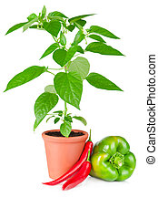 Pepper plant and peppers - Pepper plant with white flowers...