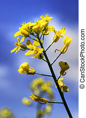 One yellow canola or rapeseed against sky