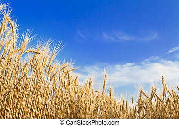Golden wheat field on blue sky