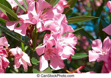 Pink flower's branch with leaves- Oleander Nerium