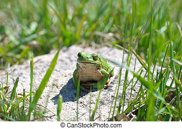 Green frog with grass background