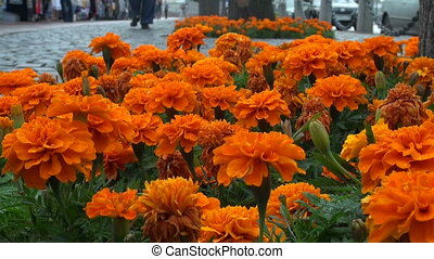 A bed of orange flowers