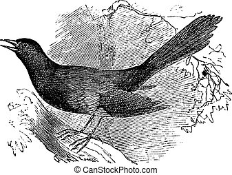 Mocking the carolina Mimus carolinensis, vintage engraving -...