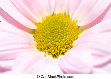 Pink daisy - Closeup of pink daisy with soft focus