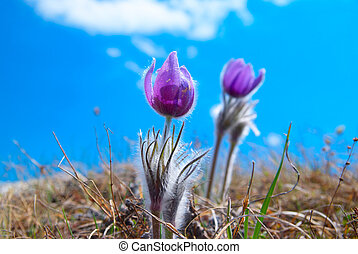Flower Pasqueflower Pulsatilla patens - Pasqueflower...