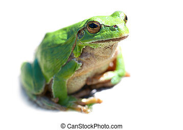 Green frog isolated on the white background