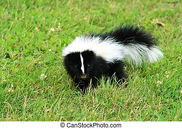 Baby Skunk - A baby skunk on green grass looks directly into...