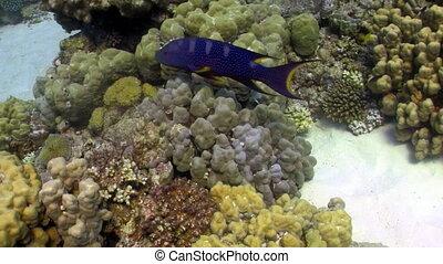 Gruper fish on coral reef - Blue Spotted Coral Gruper on...
