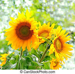 Yellow sunflowers with green leaves