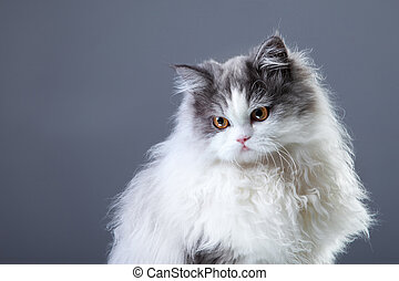 Portrait of young beautiful gray and white persian cat looking aside on grey background