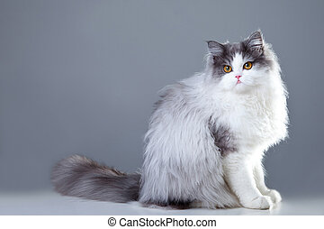 Portrait of young beautiful gray and white persian cat sitting on grey background