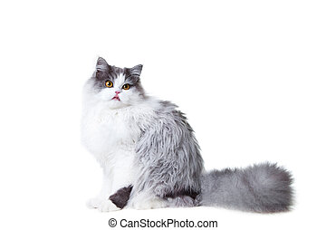 Portrait of young beautiful licking gray and white persian...