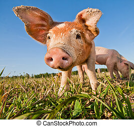 Young pig standing on a pigfarm