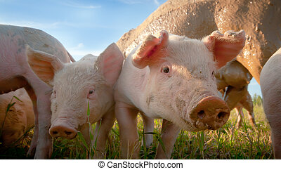 Two small pigs in the shade