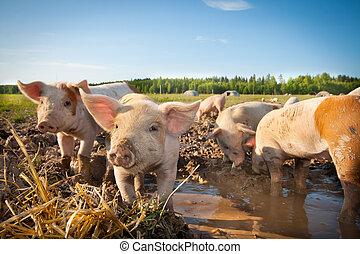 Muchos, lindo, cerdos, pigfarm