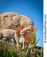 Beautiful small pig standing on a field