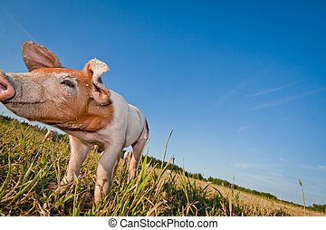 One small pig lonely on a field