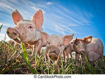 tres, pequeño, cerdos, posición, pigfarm