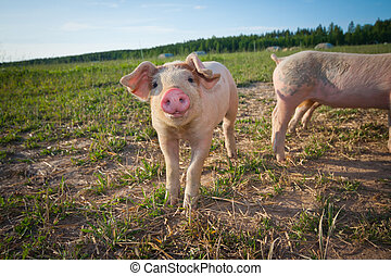 A young pig standing on a field