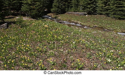 Glacier Lily wildflowers