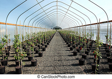 Greenhouse plants nursery, Oregon. - Seedling plants in pots...