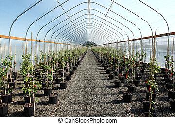 Greenhouse plants nursery, Oregon. - Seedling plants in pots...