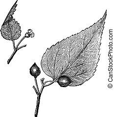 Virginia hackberry (Celtis occidentalis) or nettletree,...