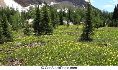 Pan of Glacier Lily wildflowers