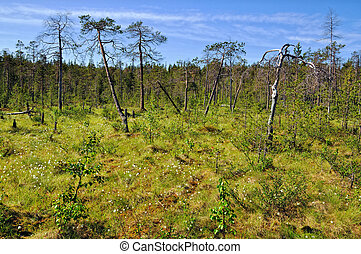 Boggy lowland - Boggy forest. Kola peninsula, Russia