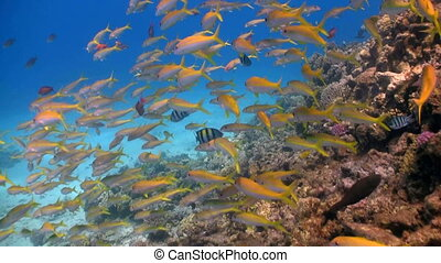 shoal of yellow fish on the coral