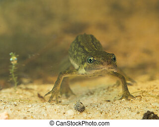 female newt lissotriton vulgaris frontal view - newt...