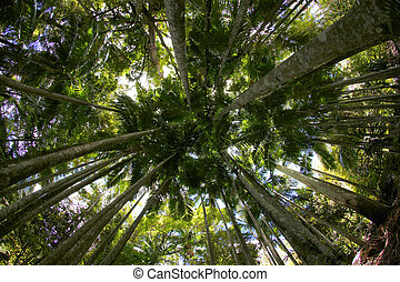 Under The Canopy - Tall trees in a tropical rainforest