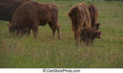 bisons