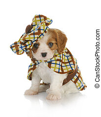 cute puppy - cavalier king charles spaniel wearing plaid...