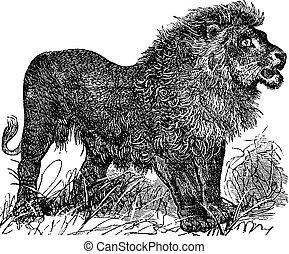 African Lion vintage engraving - African Lion vintage...