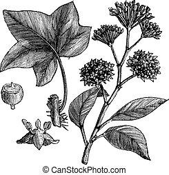 English ivy (Hedera helix) or Common ivy vintage engraving
