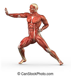 Male muscular system in fight position - Anatomy of human...