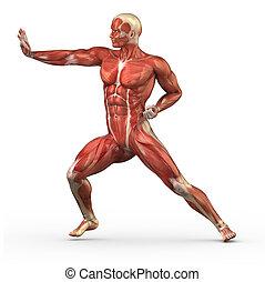 macho, Muscular, sistema, luta, posição