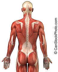 Man back muscular system posterior view - Anatomy of human...