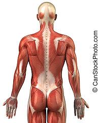 homem, costas, Muscular, sistema, posterior, vista