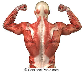 Man back muscular system posterior view in body-builder pose...