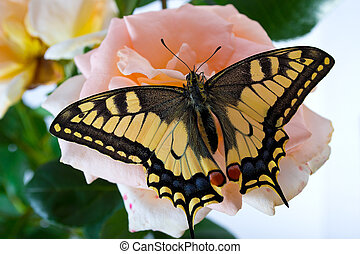 Tiger Swallowtail Papilio Glaucus Butterfly on A Cone-flower...
