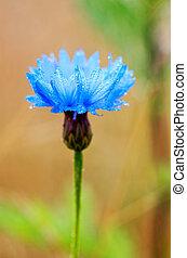 cornflower - a blue cornflower