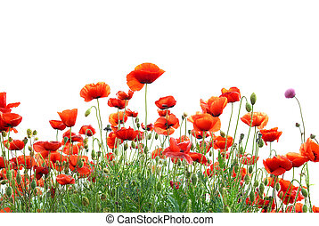 Red poppies - Beautiful red poppies isolated on white...