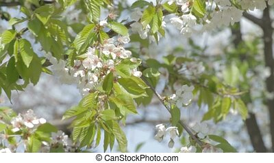 Wind rustles cherry branches in whi - Wind rustles cherry...