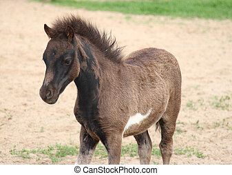 baby foal of miniature horse